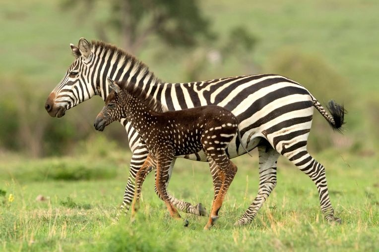 spotted zebra.jpg